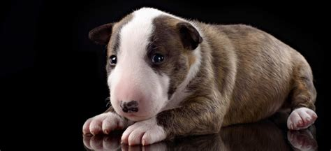 puppy bull terrier which breed the bull terrier
