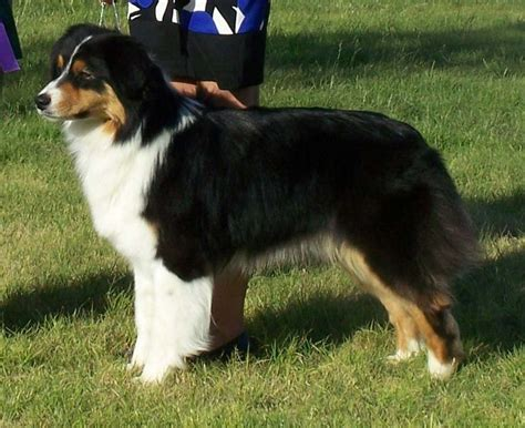 australian shepherd colors imgs for gt aussie tri color aussies