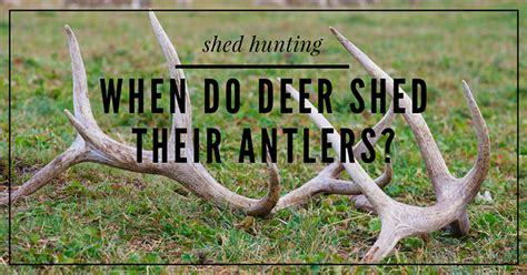 Do Deer Shed Their Antlers Every Year by Bowhunting Archives Buckwithbow