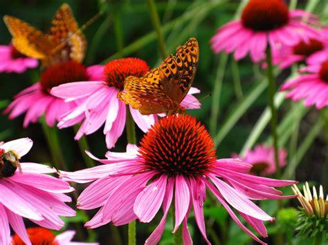 file butterfly purple cone flowers forestwander jpg