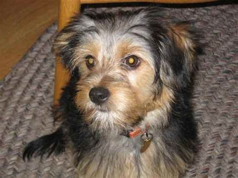 list of yorkie mix breeds carkie breed black hairstyle and haircuts