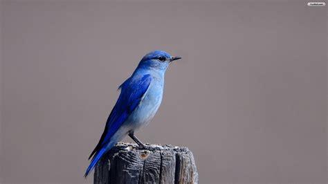 blue bird wallpaper wallpapersafari