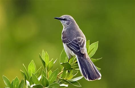 research mockingbirds quickly recognize individual faces