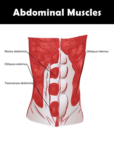 diagram of abdominal muscles exercises