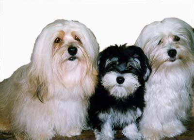 how big havanese dogs get need advice
