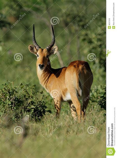 topi puku puku antelope royalty free stock photos image 8237318