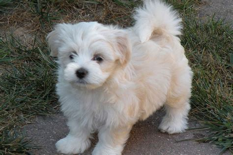 free havanese puppies for sale havanese puppies for sale bazar sweet dogs pic litle pups