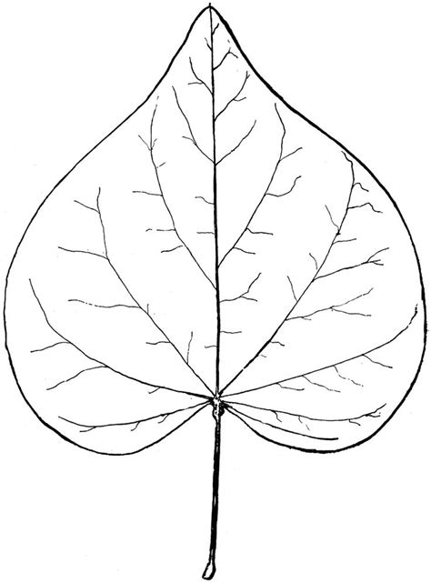 Drawing Leaves by Leaf Line Drawing Genus Cercis L Bud Clipart