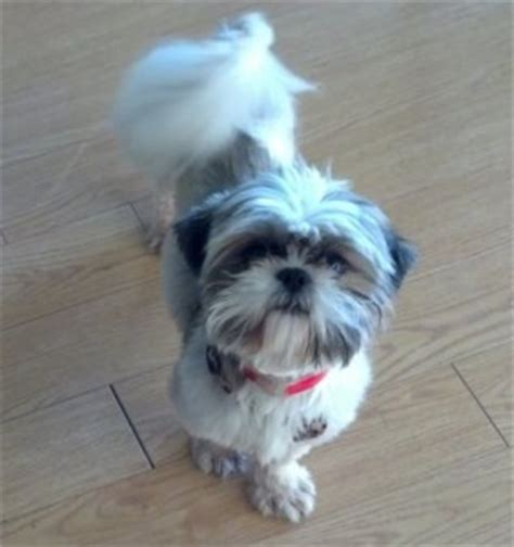 shih tzu and furbaby rescue crompond ny shih tzu furbaby rescue assistedlivingcares