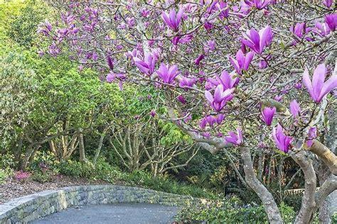 magnolia in vaso coltivazione della magnolia decidua in terra e in vaso