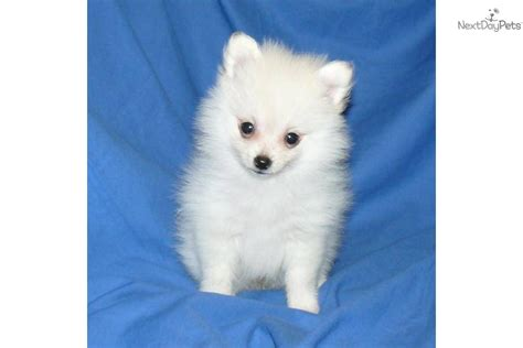 3 pound pomeranian pomeranian puppy for sale near springfield missouri 5e25f486 eba1