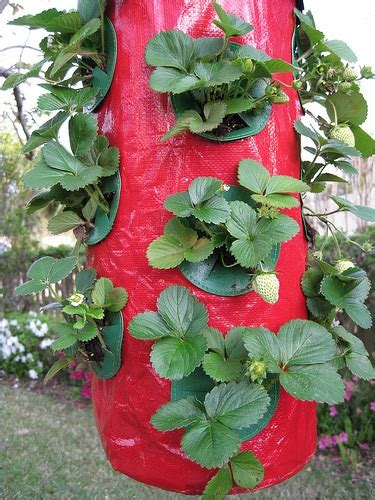 Strawberry Garden Ideas Strawberry Garden Garden Ideas Pinterest