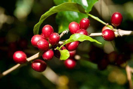 coffee plants bear  cherry  fruit  pit     dearly beloved coffee bean