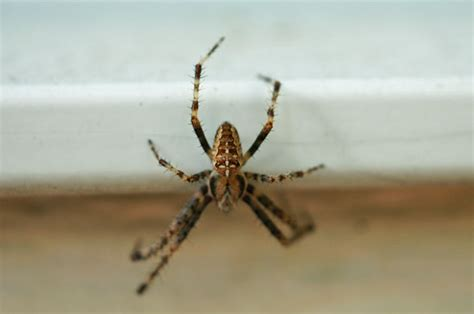giant house spider oregon house spider oregon 28 images house spiders at spiderzrule the best site in the