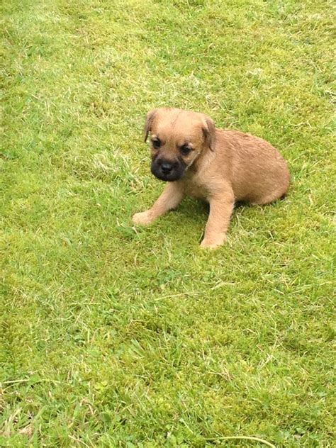 pug cross terrier puppies sale pin border terrier cross pug on