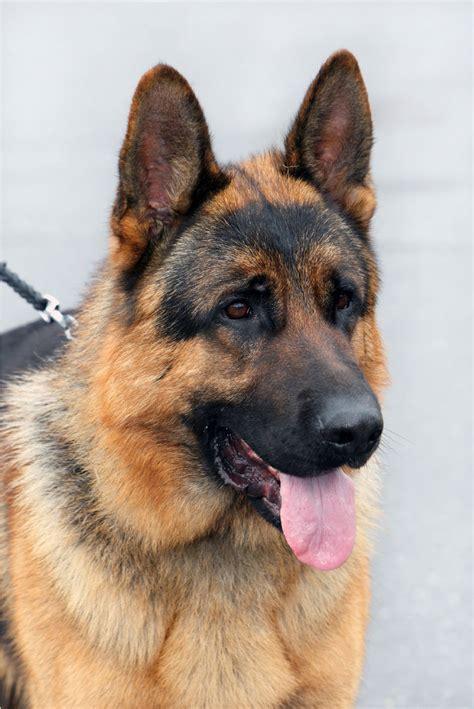 german shepherd dogs breeds picture