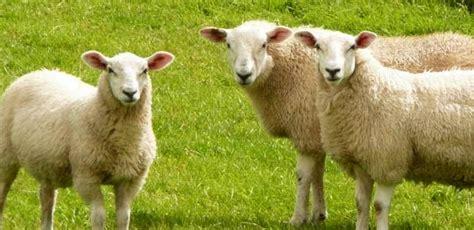 devlet destekli kuecuek bas suet hayvanciligi kredisi nedir