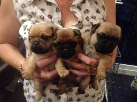 cross pug puppies for sale pug cross puppies for sale gloucester gloucestershire pets4homes