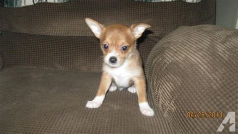 chorkies puppies chorkies non shed lovable puppies for sale in alliance ohio classified