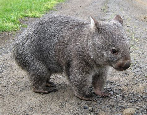 imagenes del animal wombat 1000 images about australia s cute animals wombats on