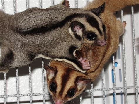sugar glider colors glidergossip is there a thread about the different colors