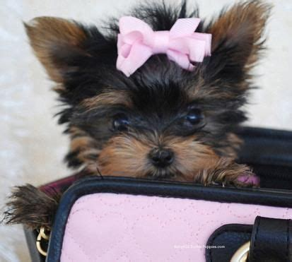 baby teacup yorkies best 25 puppies for sale ideas on baby huskies for sale huskies for sale