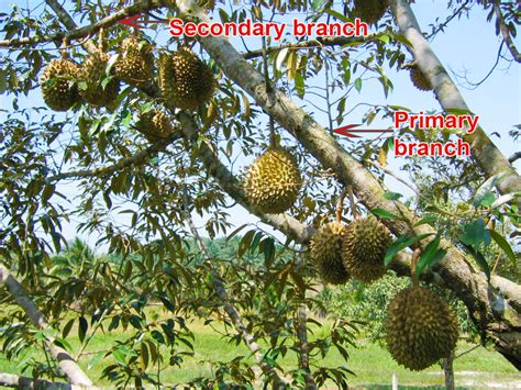durian info     fruits   durian trees