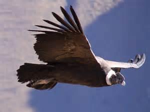 Andean condor colombia national bird