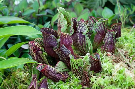 17 best images about plants on madagascar the 17 best images about carnivorous plants on