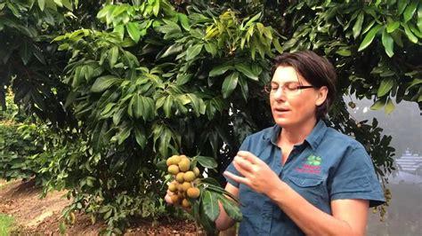 how to grow longan fruit trees longan kohala grafted fruit tree shows fruit and tree
