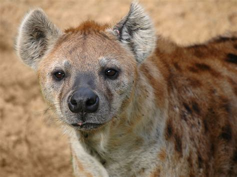 images of hyenas file hyena jpg wikimedia commons