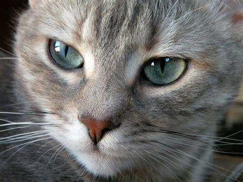 imagenes de ojos verdes de gatos gatos grises con ojos verdes