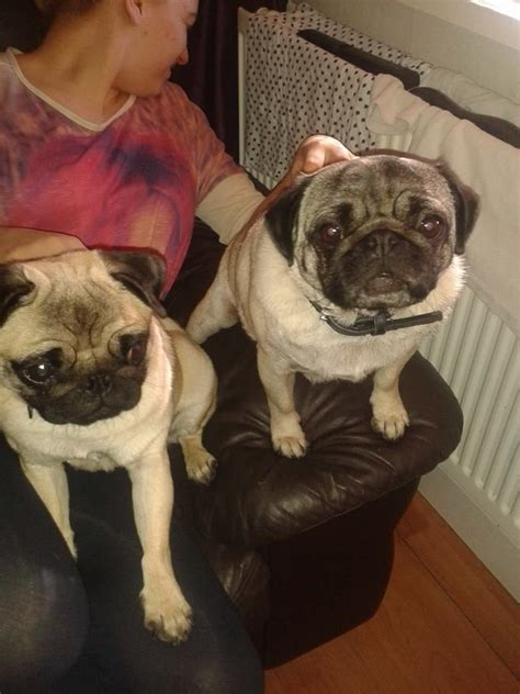 4 year pug 4 year pug for sale 400 manchester greater manchester pets4homes