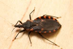 Garden City Pest Control - kissing bug identification requires closer look insects in the city