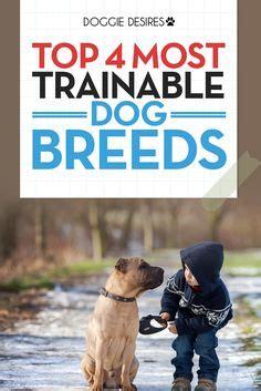 most trainable dogs quot miniature pinscher australian shepherd mix quot search australian shepherd