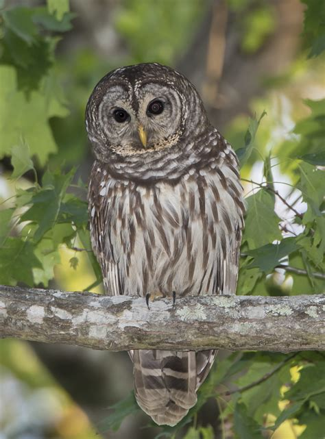 the owl who was barred owl roads end naturalist