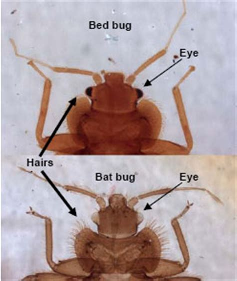 bat bug vs bed bug bed bug identification signs and picutres guide