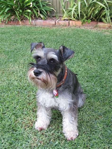 miniature schnauzer hair styles pictures search results for schnauzer cuts pictures black