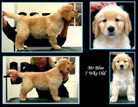 karagold golden retrievers karagold golden retrievers florida breeds picture