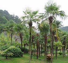 aa palm the free encyclopedia les 25 meilleures images du tableau trachycarpus sur
