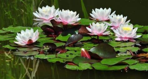 Tanaman Air Teratai cara menanam bunga teratai dan budidayanya didalam pot