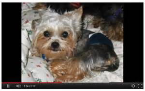 Miniature yorkshire terrier yorkie yorkshire terrier rescues and
