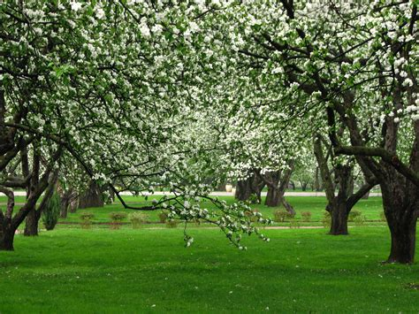 apple orchard file apple orchards in kolomenskoye 06 jpg