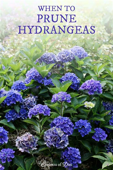 hydrangea growing tips id prune care empress of dirt