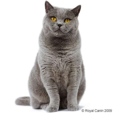 Royal Canin Shorthair Cat Food 85gr royal canin shorthair great deals at zooplus
