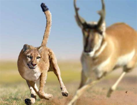 american giant cheetah  philipedwin north american animals prehistoric wildlife