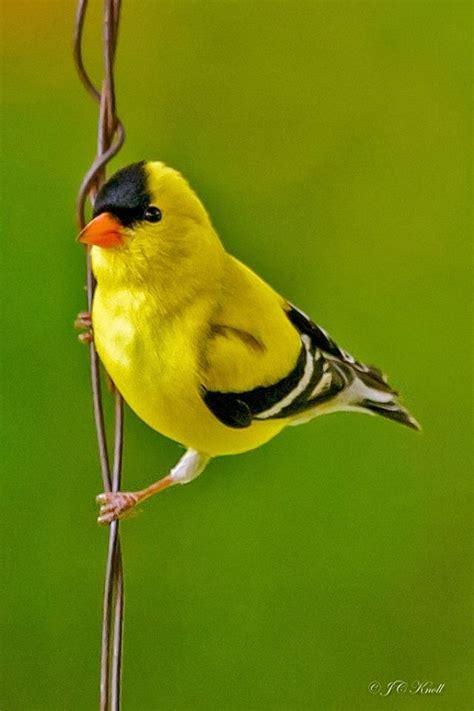 Backyard Yellow Birds Best 25 Goldfinch Ideas On Beautiful Birds