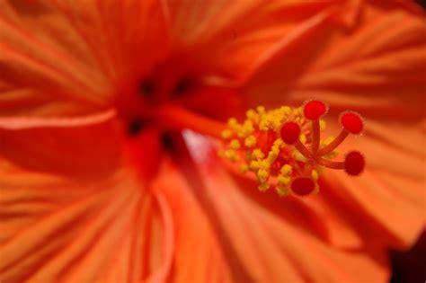 fiore di hibiscus hibiscus syriacus ibisco cinese fiori e piante hibiscus