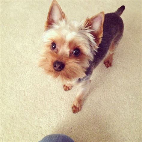 short hair yorkie dogs for groomer reference in the future cute yorkie