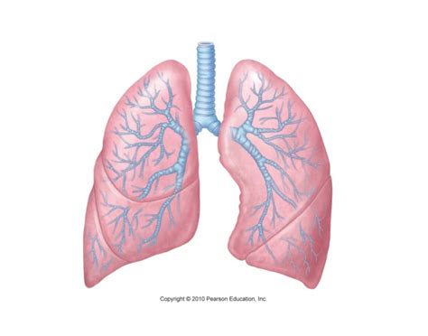 Sections Of The Lungs by Parts Of The Lungs